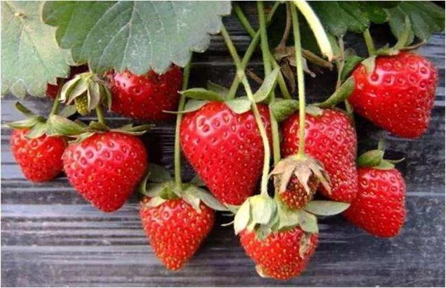 草莓是喜光植物,但也能耐阴,光照充足植株矮壮,果实大而品质好,光照不
