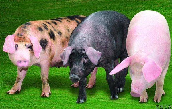 猪的图案简单图片
