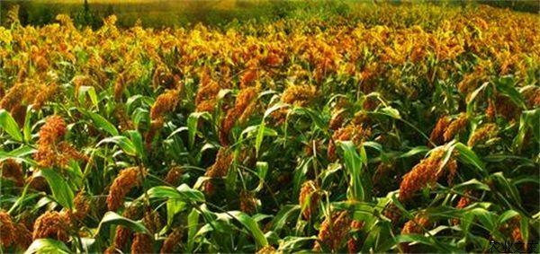 糯质,抗病,散穗耐虫的酿酒高粱杂交新品种,2006年2月通过国家高粱品种