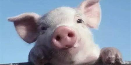 云南和广西各发生一起猪O型口蹄疫疫情
