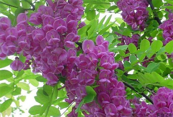 香花槐叶繁枝茂,树冠开阔,树干笔直,树景壮观, 全株树形自然开张,树态