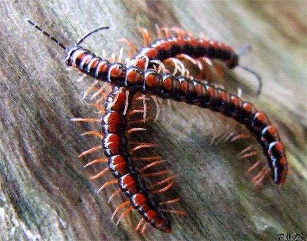 彩泥手工制作蜈蚣