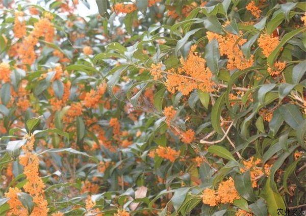 桂花树褐斑病防治