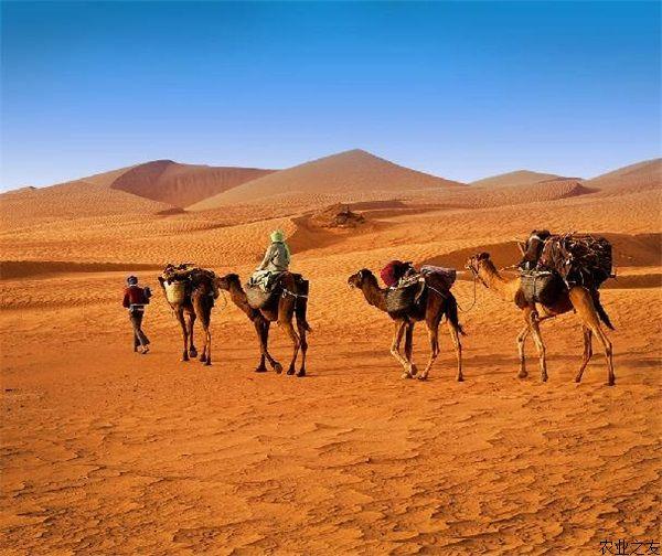 我国新疆甘肃等地野骆驼生存状况