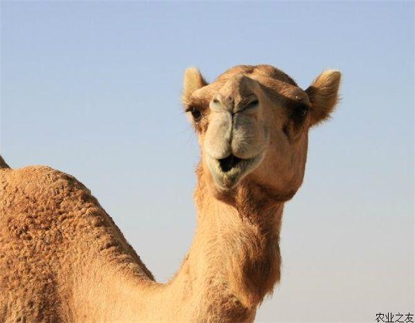 骆驼具有忍饥耐渴的能力,可在严寒酷暑的条件下生存,能在沙漠中自由穿