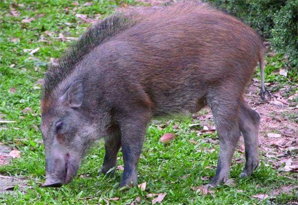 养殖户怎样才能养好野猪