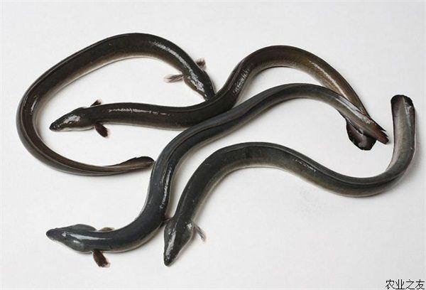 鳗鱼红头病的防治