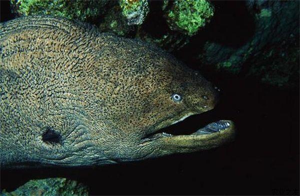 海鳗鳔的功效与作用