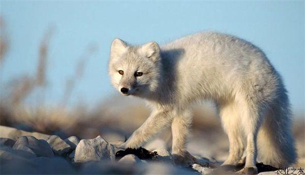 狐狸��h����j˞j���_狐狸养殖公狐的配种时间