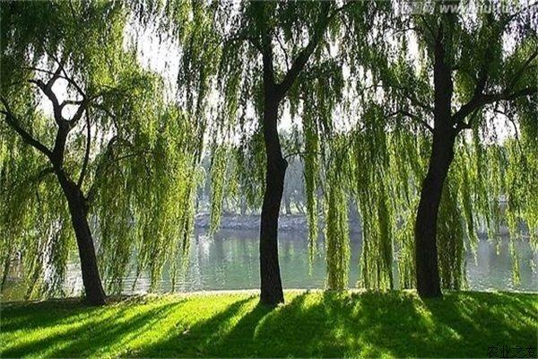 柳树种植的病虫害防治
