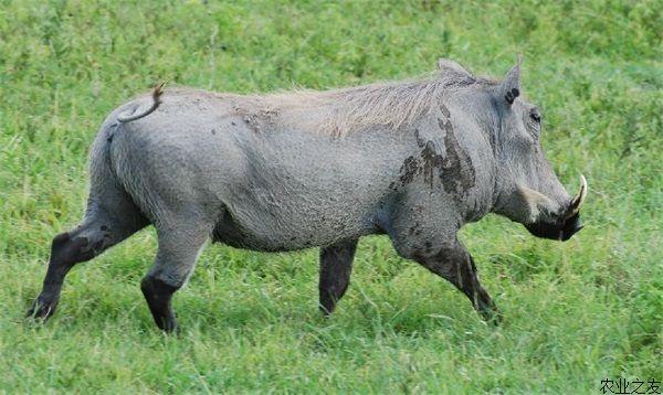 采用铁丝或其他材料的栅栏,将山丘林地圈成一定面积的放牧封闭区,称围栏放牧。受遗传因素的影响,特种野猪、特别是高野猪血缘的特种野猪具有野生环境的生活习性。因此,围栏放牧,能在某种程度上满足特种野猪的野生习性,既利于特种野猪的养殖生产,也有利于实现绿色饲养。 根据实践经验,围栏是特种野猪养殖生产中的一项成熟技术,投资较小,规模可大可小、用地随处可觅,适合各地推广。其基本要点如下。