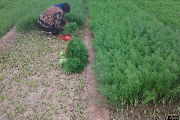 一、播种时间:露地种植可在3至9月播种,保护地种植一年四季均可播种。 二、播种方法:可条播或撒播,茴香叶面积小,很适合密植,每亩用量约3至5公斤。 三、选择地块:地块要平、排灌方便,种植前并进行翻地、破碎土块、亩施入腐熟农家肥3000公斤,平整表面后,作成宽1.2至1.4米的平畦。  四、播种催芽:为使出苗快而整齐,播种前最好先进行浸种催芽,方法是把种子浸泡24小时,然后用手将种子揉搓并淘洗干净后,将湿种子摊放在麻袋或草席上,放阴凉处稍晾一下,再盛在瓦盆里,盖上湿布于16-23度下催芽。播前先浇底水,当水