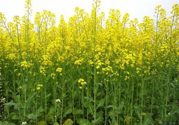 油菜花种植技术:如何预防油菜花而不实