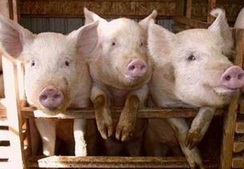 2018年生猪价格走势预测:河南生猪多少钱一斤?
