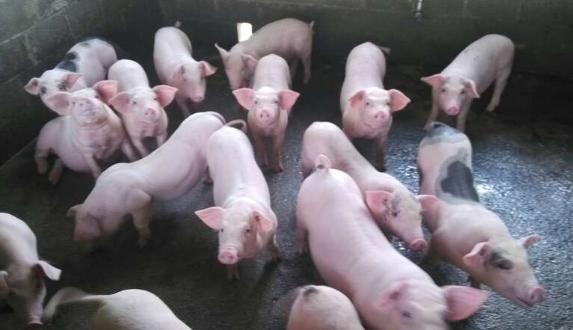 生猪多少钱一斤?2018年生猪价格会上涨吗?价格走势如何