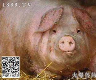 常见的导致母猪异常淘汰的原因及防控措施!