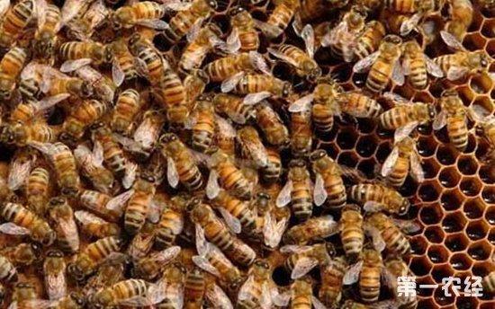 土蜜蜂怎么养殖技术+