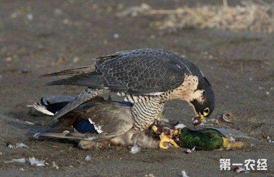 老鹰是猛禽吗?老鹰是怎么捕捉猎物的呢?