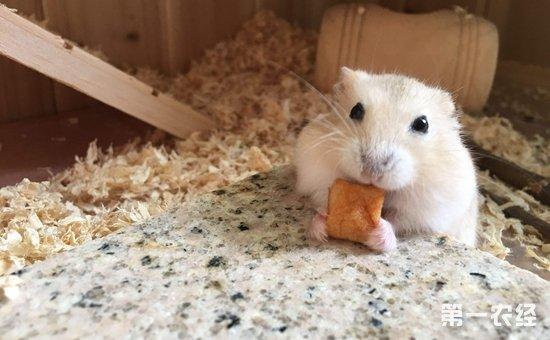 布丁仓鼠吃什么东西?布丁仓鼠喜欢吃的食物图片