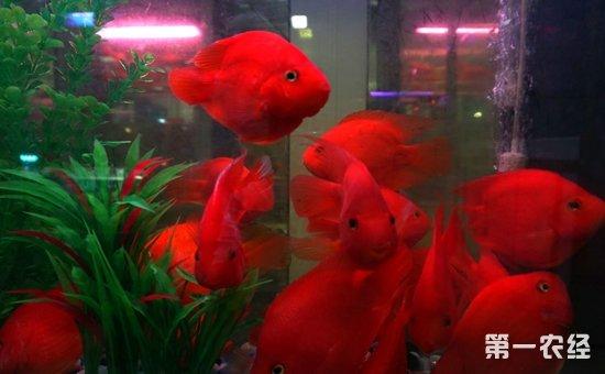 财神鱼可以和什么鱼类混养?