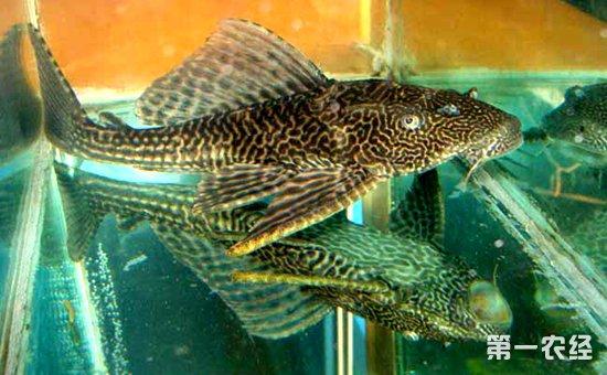 清道夫鱼能吃吗_清道夫鱼的繁殖方法与养殖要点