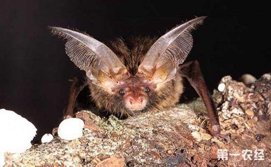 褐色,体侧赭褐色,腹面锈黄,腹部以下毛短呈棕绿色,颈侧咖哩黄色,耳缘色浅。广泛分布于南亚及东南亚一带,包括印尼,在我国分布于海南、广东、福建、云南、西藏、广西,主要栖息于热带树林以及家舍。   八、扁颅蝠  扁颅蝠   扁颅蝠是我国最小的蝙蝠之一,因其栖息于竹子中的特殊习性而备受人们关注。在地球上已生存了600万年,属哺乳纲翼手目蝙蝠科类。上世纪80年代,曾有专家采集过扁颅蝠标本,此后20多年,扁颅蝠都没有出现。和它的亲属们一样,扁颅蝠视力非常有限,飞行完全靠听觉来导航。   九、犬吻蝠  犬吻蝠   犬