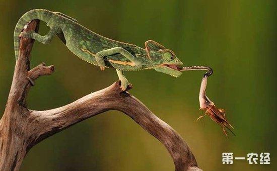 养殖技术 > 正文       蜥蜴是我们生活中比较常见的一种爬行类动物