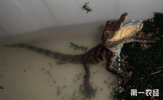 宠物鳄鱼怎么养?宠物鳄鱼饲养方法介绍