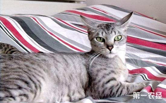 埃及猫的喂食要点