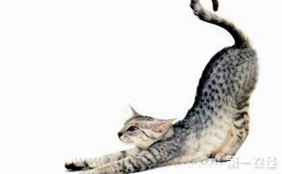 埃及猫的性格特点