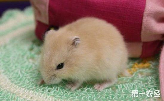 布丁仓鼠喜欢吃什么食物?图片