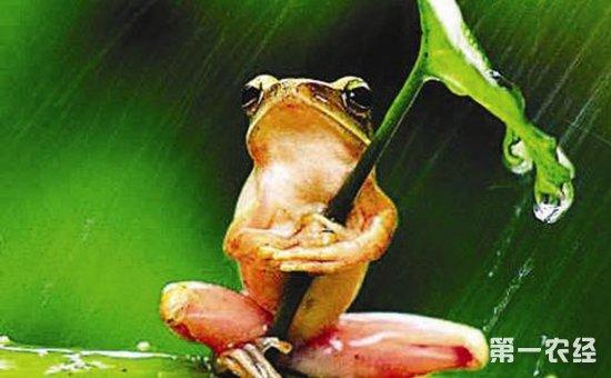 打伞树蛙是什么蛙?树蛙真的会打伞吗?