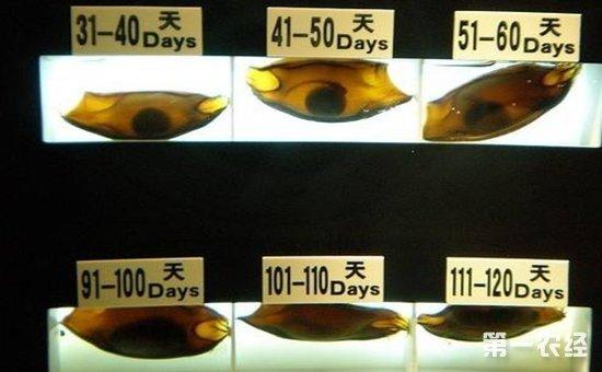 鲨鱼卵怎么孵化?