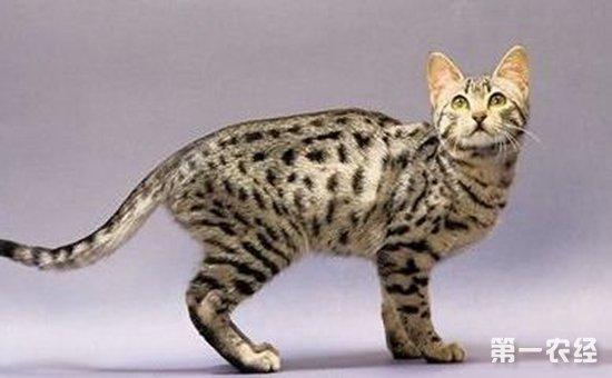 埃及猫好养吗?埃及猫的寿命和粘人程度