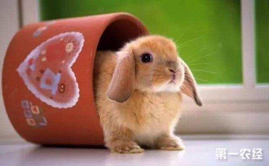 茶杯兔和侏儒兔的区别