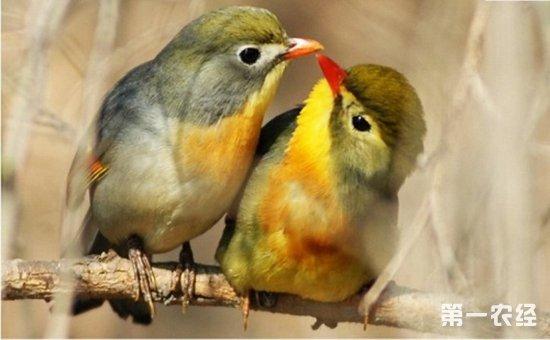 红嘴相思鸟民间也俗称为红嘴鸟,红嘴玉,五彩相思等.