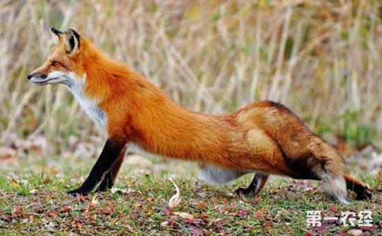 狐狸主要以鱼,蚌, 虾,蟹,鼠类,鸟类,昆虫类小型动物为食,有时也采食