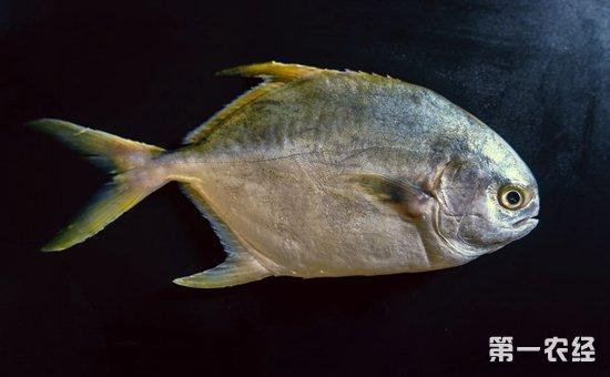 鲳鱼种类图片大全
