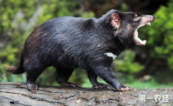 动物獾子图片大全