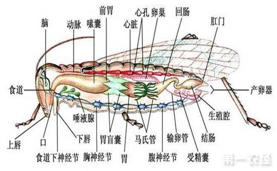 蝗虫的身体构造图
