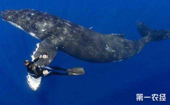 座头鲸是什么动物?关于座头鲸的资料有哪些?