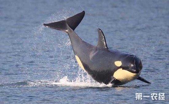 虎鲸   虎鲸是一种大型齿鲸,别称逆戟鲸、杀人鲸等,身长为8~10米,体重9吨左右,头部略圆,嘴巴细长,牙齿锋利,性情凶猛,善于进攻猎物,是企鹅、海豹等动物的天敌。有时还袭击其它鲸类,甚至是大白鲨,可称得上是海上霸王。而且,虎鲸是一种高度社会化的动物,有一些群体组成的家族是动物界中最稳定的家族,一些复杂社会行为、捕猎技巧和声音交流被认为是虎鲸拥有自己的文化的证据。   以上四种就是在南极中比较常见的企鹅天敌,虽然在寒冷的南极大陆上动物很少,但是也存在不少动物,构成了生物链系统。在南极中,企鹅的天敌还算是