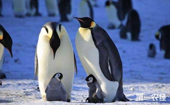 我们知道企鹅是一种卵生动物,在产下企鹅蛋后需要进行孵化.