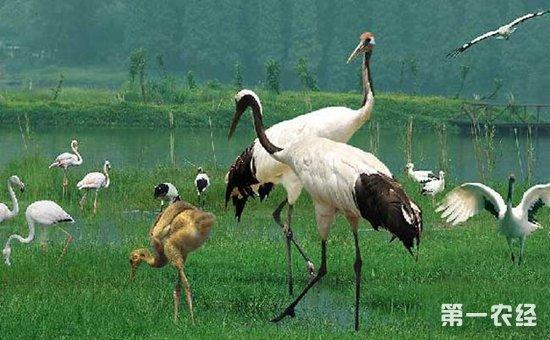 丹顶鹤的繁殖方式介绍
