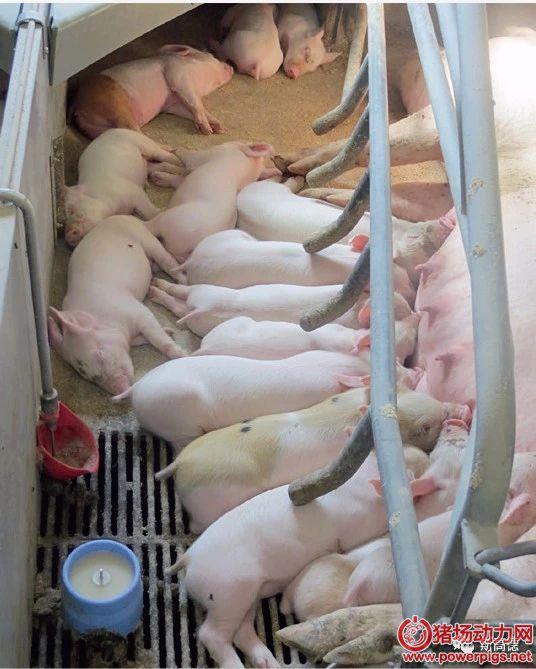 母猪奶水不足怎么办?产仔太多怎么办?也许这款补奶器可以