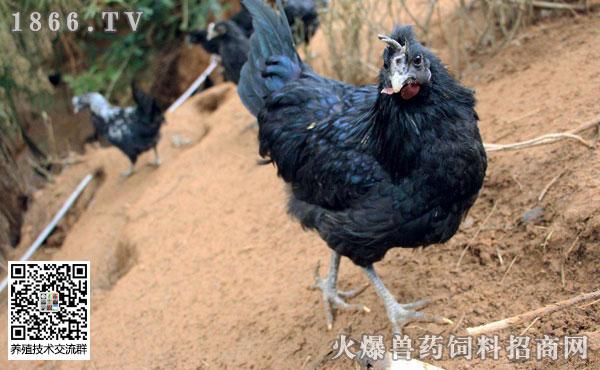 如何饲养乌鸡?乌鸡有何食用禁忌?