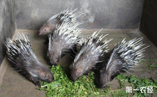 渔貂吃豪猪_豪猪肠炎的症状与治疗预防方法