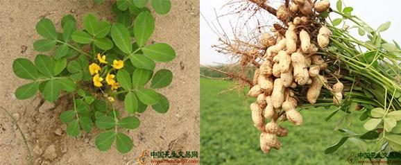 巧用磷肥,增加花生产量