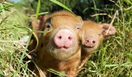 经验:这样做,挑选后备母猪简单高效?