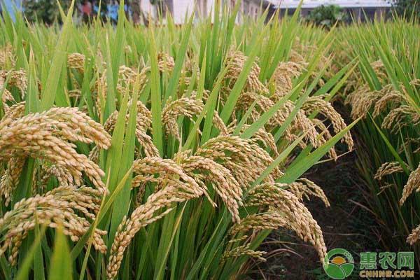 水稻生长中期怎么管理 水稻中期管理的四个重要步骤